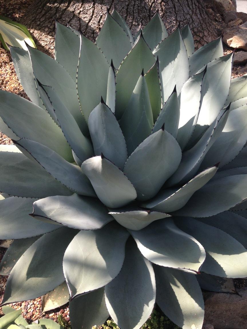 King of Swords cactus
